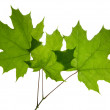 Maples leaf isolated — Stock Photo