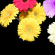Stock Photo: Flower daisy gerbera