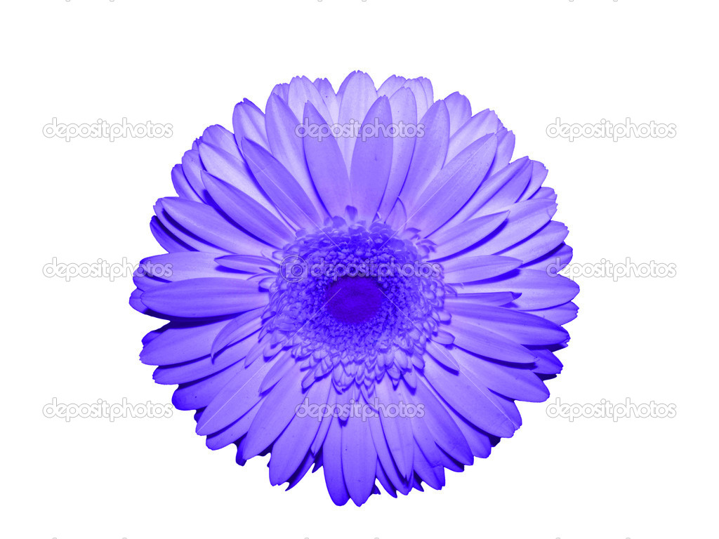 Flower daisy  gerbera   Stock Photo #2072090