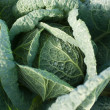 Cabbage's Head with Leafs — Stock Photo