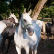 Stock Photo: White LipizzHorses