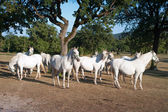 White Lipizzan Horses — Stock Photo