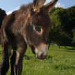 Young Donkey Foal - Stock Photo