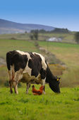 Cow and a Chicken — Stock Photo