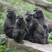 Monkeys looking left — Stockfoto