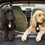 Cocker Spaniel dogs — Stock Photo #2014633