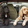 Cocker Spaniel dogs — Stock Photo