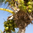 Coconuts on tree — Stock Photo
