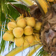 Growing coconuts — Stock Photo