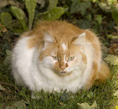 Ginger and white cat — Stock Photo