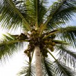 Palm tree kokosnötter — Stockfoto