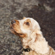 Golden cocker spaniel — Stock Photo