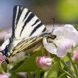 Stock Photo: Apple blossom and butterfly face to face
