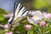 Apple blossom and butterfly face to face — Stock Photo