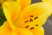 Yellow lily — Stock Photo