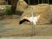 Flamingo - director. — Stock Photo