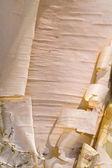 Cortex details of Birch. — Stock Photo