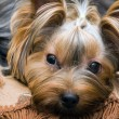 Yorkshire terrier — Stock Photo #2675139