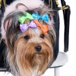 Stock Photo: Yorkshire terrier in portable bag
