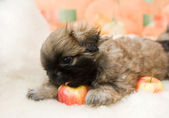 Pekingese puppy — Stock Photo