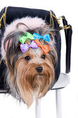 Yorkshire terrier in portable bag — Stockfoto