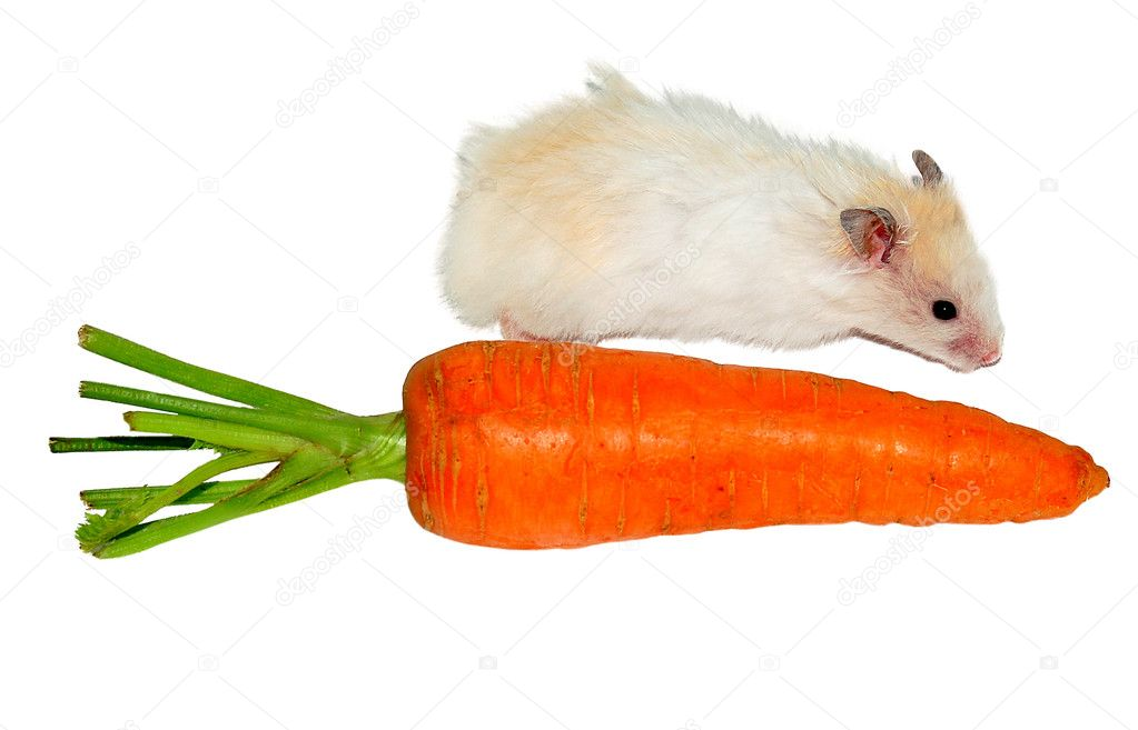 White hamster near the carrot on white background  — Stock Photo #2015164
