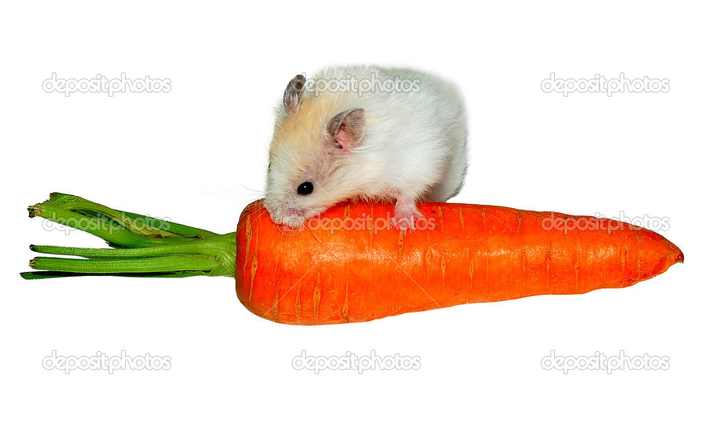 White hamster on the carrot on white background  — Stock Photo #2015171