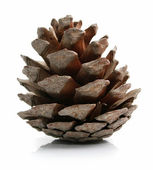 Pine cone isolated on white — Photo