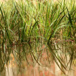 Reeds in a pond — Stock Photo