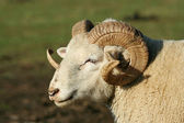 Male ram sheep — Stock Photo