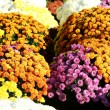 Stock Photo: Autumn mum flowers