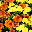 Autumn mum flowers — Stock Photo