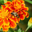 Bumble Bee on a marigold — Stock Photo