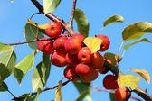Baby winesap appels — Stockfoto