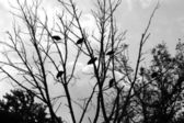 Bunch of vultures in a tree silhouette — Stock Photo