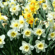 Spring time Yellow Daffodils background — Stock Photo