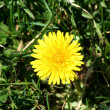 Single dandelion in some green grass — Stock Photo
