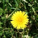 Single dandelion in some green grass — Stock Photo