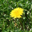 Single dandelion in some green grass — Stock Photo #2039332
