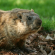 Groundhog popping out of his hole — Stock Photo