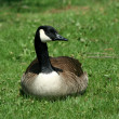 Canadian goose resting on a lawn — Stock Photo #2039448