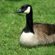 Canadian goose resting on a lawn — Stock Photo