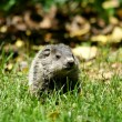 Baby ground hog in the grass — Stock Photo