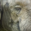 Close up of a Elephant head — Stock Photo