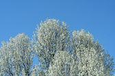 White blooming tree — Stock Photo