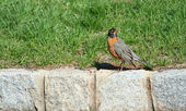 Redbrested Robin on a curb — Stock Photo