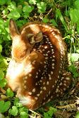 Baby jelen stočený spí — Stock fotografie