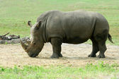 White Rhinoceros on the savannah — Stock Photo