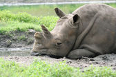 A White Rhinoceros laying down — Stock Photo