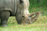 White Rhinoceros eating on the savannah — Stock Photo